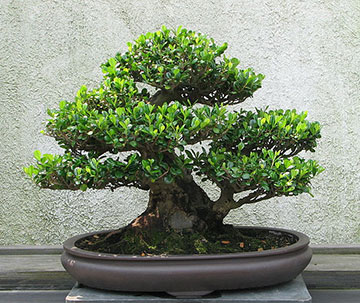 Bonsai believers.