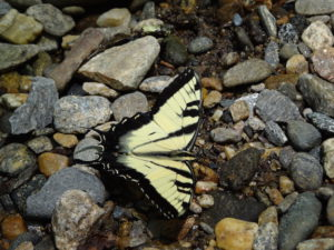 Coontree Picnic area butterfly