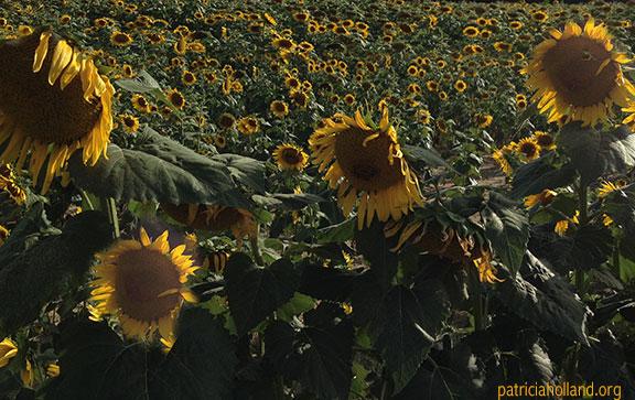 img_2623a-sunflower-field