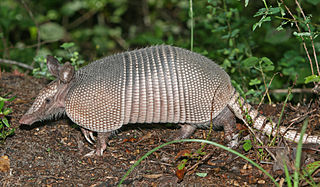Got the armadillo syndrome