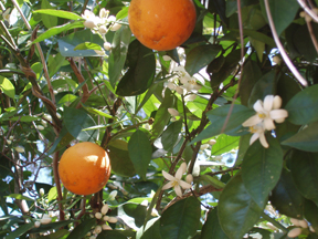 Sweet Orange Blossoms-Fragrance of Praise