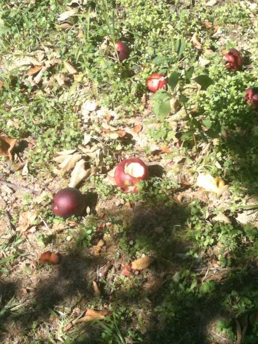 apples-on-ground
