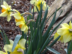 clumps of delicate daffodils