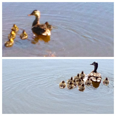 where did the ducks go? Are we more concerned about ducks than families? Let's build families.