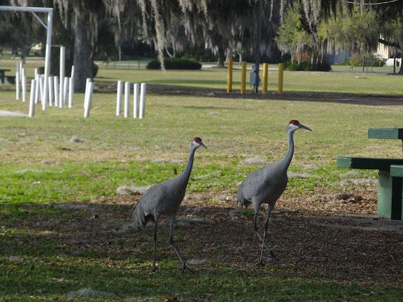 florida sandhill cranes