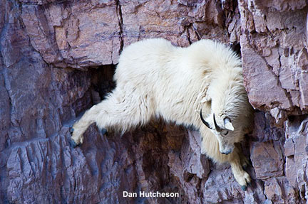 mountain goat The Sovereign Lord is my strength; he makes my feet like the feet of a deer, he enables me to tread on the heights. Habakkuk 3:19