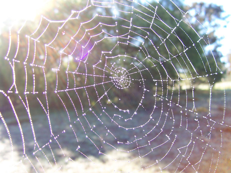 beautiful dewy spiders web- never forget they are a trap