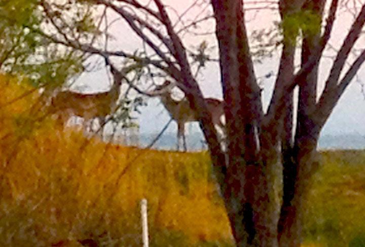 sunrise-deer2